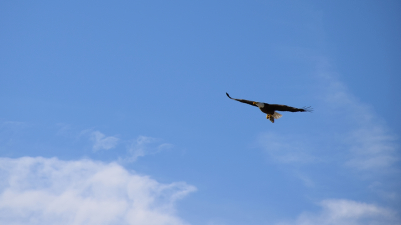 bald eagle approaches me
